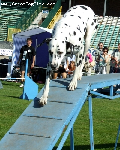 Dalmatian, 1 years, Black and White, at a dog show