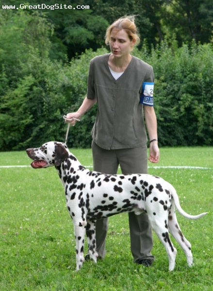 Dalmatian, 1.5 years, Brown and White, another