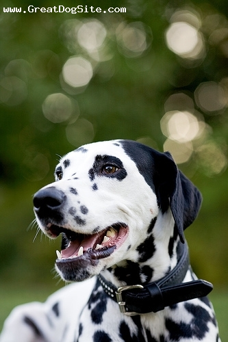 Dalmatian, 11 months, Black and White, close up
