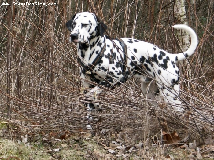 Dalmatian, 2 years, Black and White, hunting