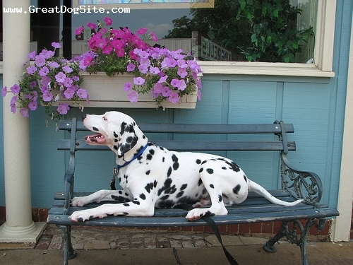 Dalmatian, 2 years, Black and White, park bench