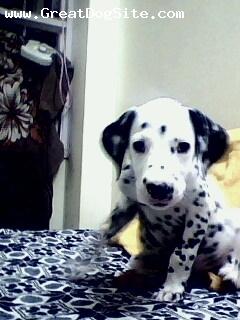 Dalmatian, 3months, Dalmationer, He is cute