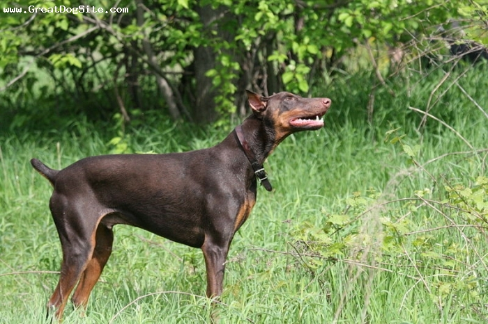 Doberman Pinscher, 1 year, Red, another Doberman shot