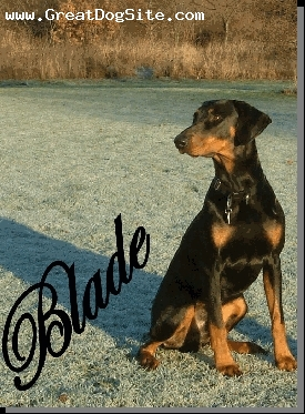 Doberman Pinscher, 4, black n tan, blade ok