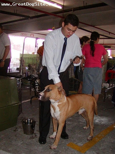 Dogue Brasileiro, 1.5 years, Brown and White, at a dog show