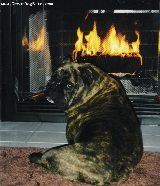 English Bulldog, 12, BRINDLE, SHE LOVES HER FIREPLACE AND A NICE NAP...