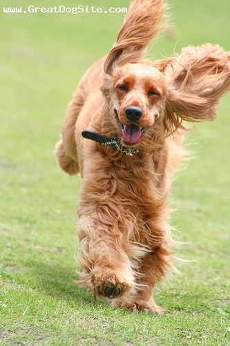 English Cocker Spaniel, 7 years, Red, happy and running around