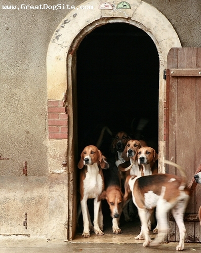 English Foxhound, 2 years, Brown and White, hanging out before a hunt