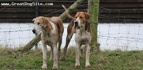 English Foxhound, 2 years, Brown and White, ready to hunt