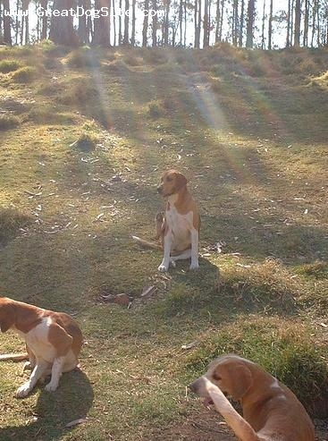 English Foxhound, 2 years, Brown and White, in the sun