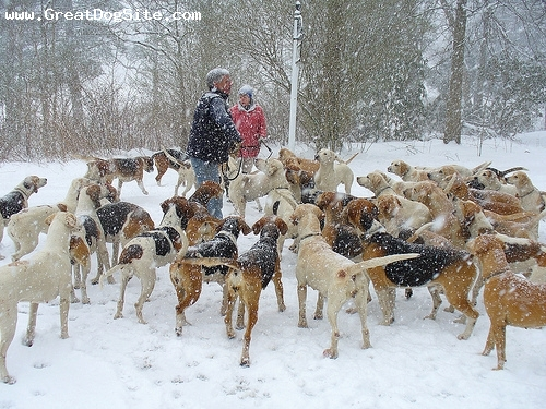 English Foxhound, 3 years, Brown and White, feeding time in the cold