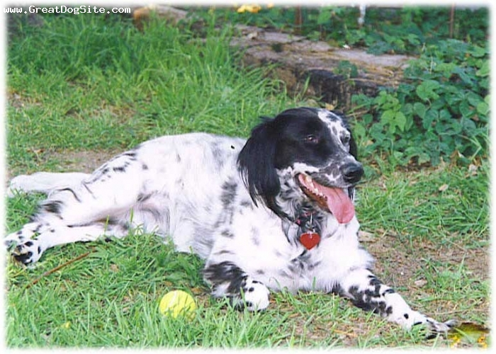 English Setter, 1.5 years, Black and White, outside playing