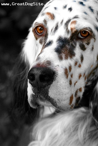English Setter, 1.5 years, Blue Merle, beautiful face