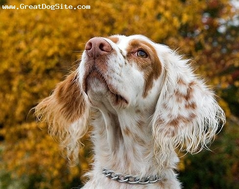 English Setter, 10 months, Brown and White, smelling the air