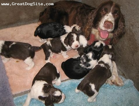 English Springer Spaniel, 4 years, Black, with her new puppies