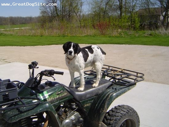 English Springer Spaniel, 4 yrs, B & W, Our dog Clete loves the 4 wheeler.  Owners Jeff and Kelly Krueger
