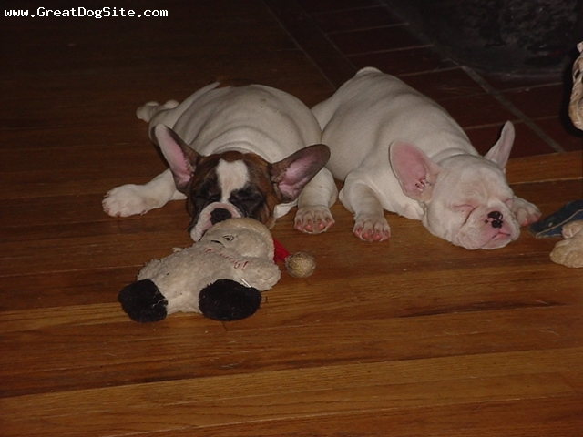 French Bulldog, 4 months, white red and black mask, Awesome baby