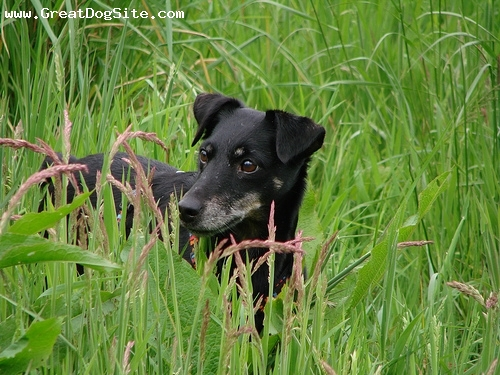 German Hunt Terrier, 10 years, Black, in the grass