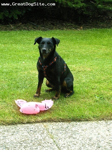 German Hunt Terrier, 10 years, Black, With her chew toy