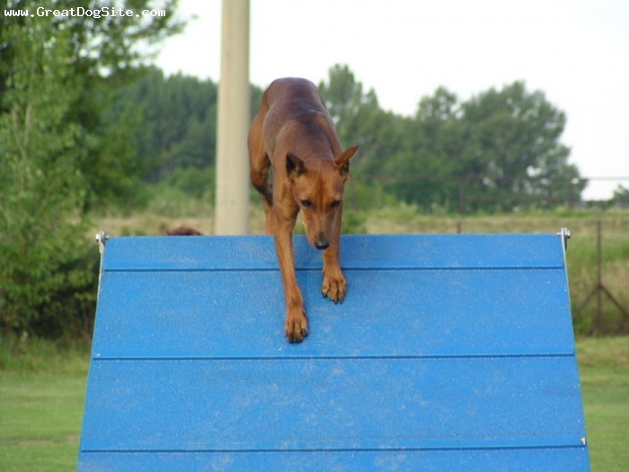German Pinscher, 1 year, Brown, agility training