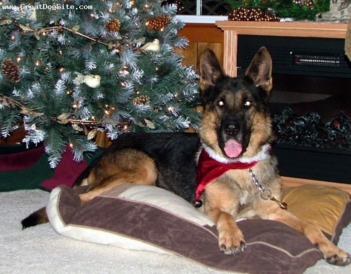 German Shepherd, 10 yrs old,   Red Sable, This is our Zensi who turned 11 on Dec 28, 2008. This was taken a week prior to her 11th birthday.