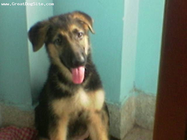 German Shepherd, 3 months, Black with tan, She is a female Greman Shepherd.She is very obedient and is very active.