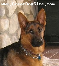 German Shepherd, 8 months, Black and red, I am a black and red Shepherd, and my name is Lenga's Zarco from Lenga's German Shepherds. Will have puppies soon.