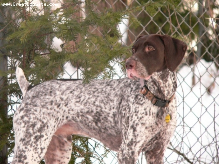 German Shorthaired Pointer, 1 year, Brown spotted, side pose