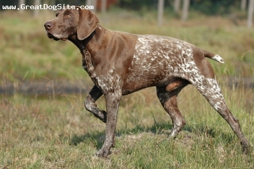 German Shorthaired Pointer, 3 years, Brown and White, On point!