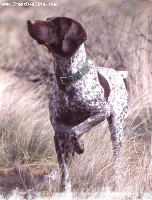 German Shorthaired Pointer, 6, Liver & White, Sonny is an awesome hunting dog and my best friend.