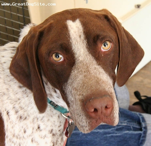 German Shorthaired Pointer, 9 months, Brown and White, My favorite hunting dog