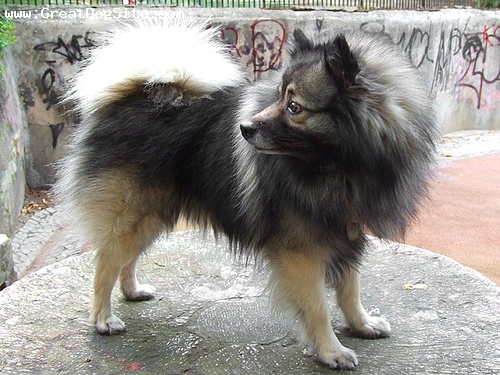 German Spitz, 1 year, Gray, outside in the wind