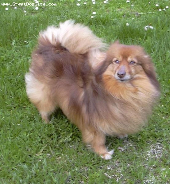 German Spitz, 2 years, Brown, outside in the wind