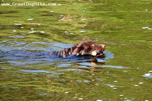 German Wirehaired Pointer, 1 year, Brown, swimming with his log