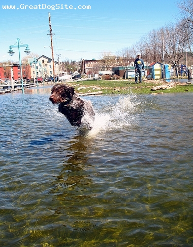 German Wirehaired Pointer, 2 years, Brown, running in the water