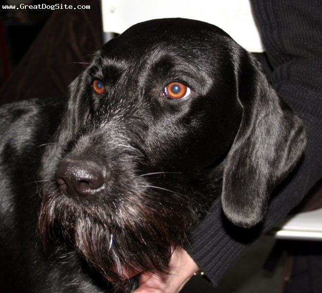 German Wirehaired Pointer, 4 years, Black, close up and he already has gray hairs