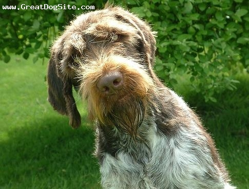 German Wirehaired Pointer, 4 years, Brown, my beautiful girl