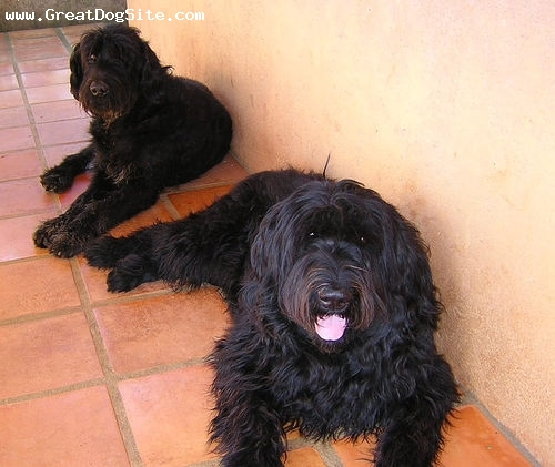 Giant Schnauzer, 1 year, Black, laying down