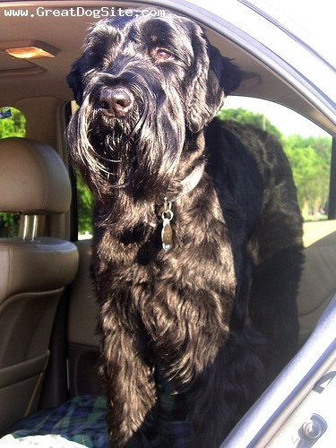 Giant Schnauzer, 1 year, Black, going for a ride