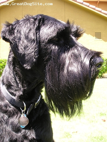 Giant Schnauzer, 11 months, Black, bearded lady