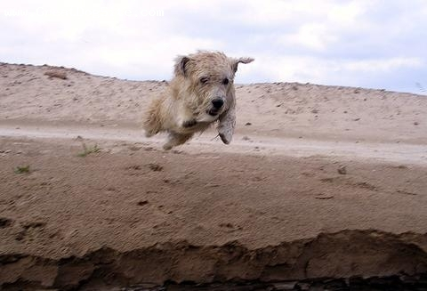Glen of Imaal Terrier, 1 year, Gray, jumping