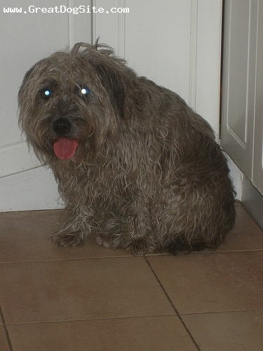 Glen of Imaal Terrier, 2 years, Gray, hes too hairy
