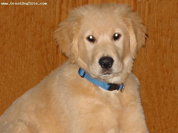Golden Retriever,  3 month, golden, just a little cute puppy