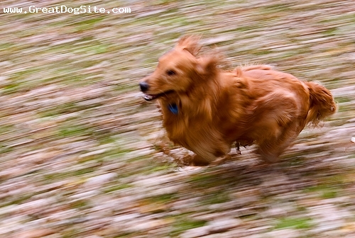 Golden Retriever, 1 year, Red, Golden Retrievers are fast