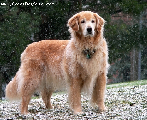 Golden Retriever, 1.5 years, Red, the happiest Golden Retriever pn the beach