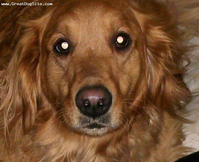 Golden Retriever, 3, Gold, Such a crazy dog