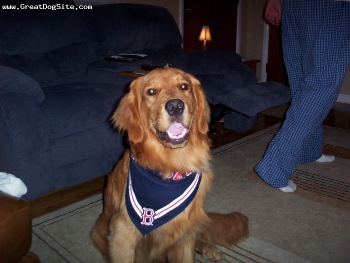 Golden Retriever, Year and a half, Red, Very active dog. He loves the redsox.