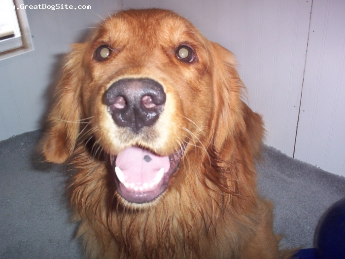 Golden Retriever, Year and a half, Red, Full of Energy