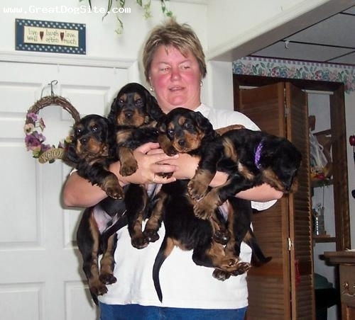 Gordon Setter, 2 months, Black, She can barely hold them all