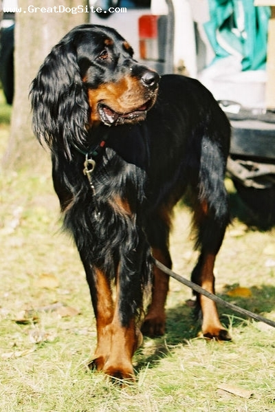 Gordon Setter, 2 years, Black, beautiful girl